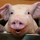 Schweinestalltechnik