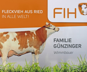 Fleckvieh_aus_Ried